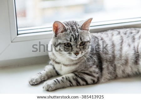 The gray cat sits on a window sill