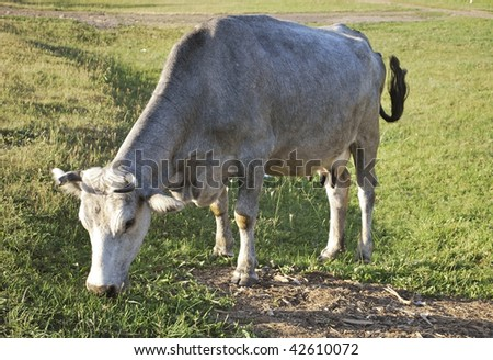 the gray cow is graze on lawn