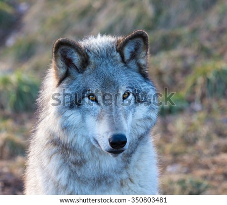 The gray wolf or grey wolf also known as the timber wolf, or western wolf, is a canine native to the wilderness and remote areas of North America and Eurasia. It is the largest member of its family. - stock photo
