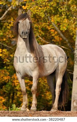 The gray Yakut horse portrait in autumn - stock photo