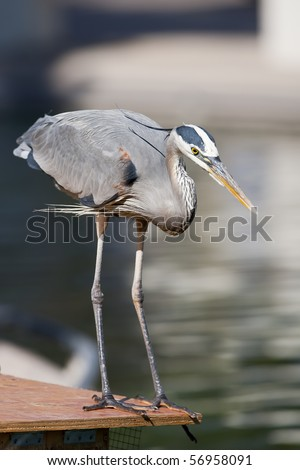 The Great Blue Heron is a large wading bird in the heron family Ardeidae, common near the shores of open water and in wetlands over most of North and Central America.