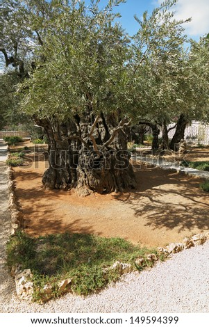 The great city of Jerusalem. Garden of Gethsemane.Thousand-year olive trees - stock photo