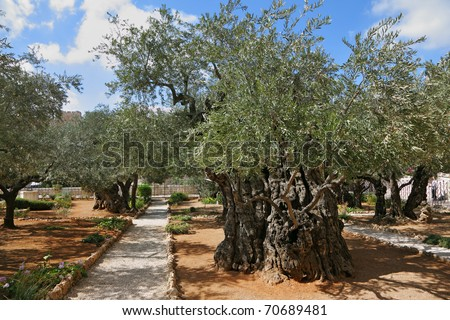 Garden of gethsemane stock images royalty free images for Age olive trees garden gethsemane
