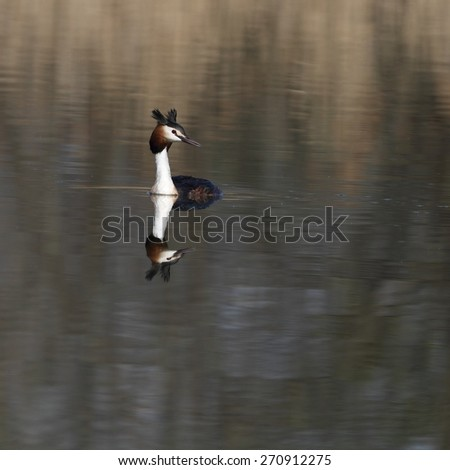 The great crested grebe (Podiceps cristatus). - stock photo