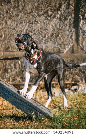 The Great Dane is a large German breed of domestic dog (Canis lupus familiaris) known for its enormous body and great height. - stock photo
