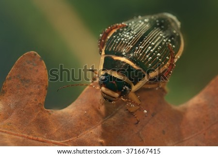 The Great diving Beetle (Dytiscus marginalis) in the oak leaf under the water. Big carnivorous beetle captured under water on the brown leaf with green background. - stock photo