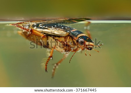 The Great diving Beetle (Dytiscus marginalis) under the water surface. Great hunting beetle paddling using two legs under water.Colorful insect. Green background. - stock photo