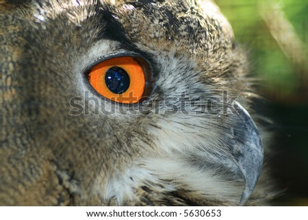 The great eagle-owl close-up portrait