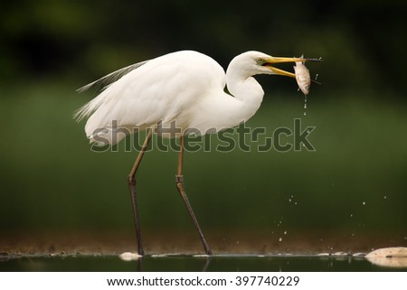 The great egret (Ardea alba), also known as the common egret, large egret or great white heron and a fish in its beak - stock photo