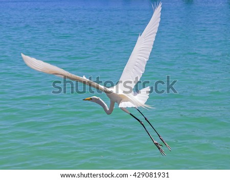 The great egret (Ardea alba), also known as the common egret, large egret or (in the Old World) great white heron - stock photo