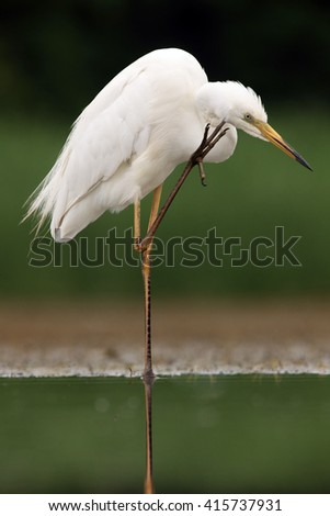 The great egret (Ardea alba), also known as the common egret or (in the Old World) great white heron cleans around the beak - stock photo