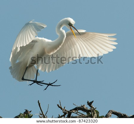 The Great Egret Landing - stock photo