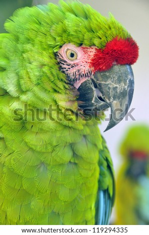 The Great Green Macaw  also known as Buffon's Macaw or the Great Military Macaw, is a Central and South American parrot found in Nicaragua, Honduras, Brazil, Costa Rica, Panama, Colombia and Ecuador. - stock photo