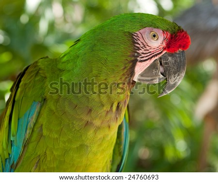 The Great Green Macaw, Ara ambiguus, also known as Buffon's Macaw parrot in its natural habitat looking directly at the camera