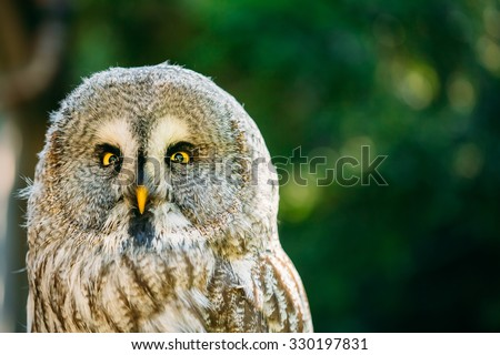 The great grey owl or great gray owl (Strix nebulosa) is very large owl. Wild bird. Close up head, face.