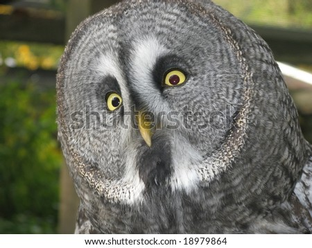 The Great Grey Owl or Lapland Owl, Strix nebulosa, is a very large owl, distributed across the Northern Hemisphere.