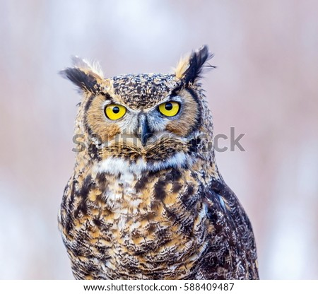Great Horned Known Tiger Hoot Owl Stock Photo Edit Now 588409487