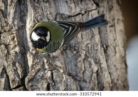 The great tit in a cold sunny winter day. It is a good for birdwatching because of its interesting behavior. Great tit is a very active bird - stock photo
