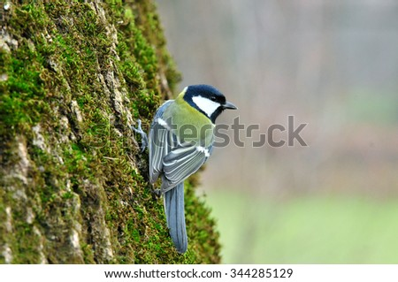 The great tit is a distinctive bird, with a black head and neck, prominent white cheeks, olive upperparts and yellow underparts, with some variation amongst the numerous subspecies. - stock photo