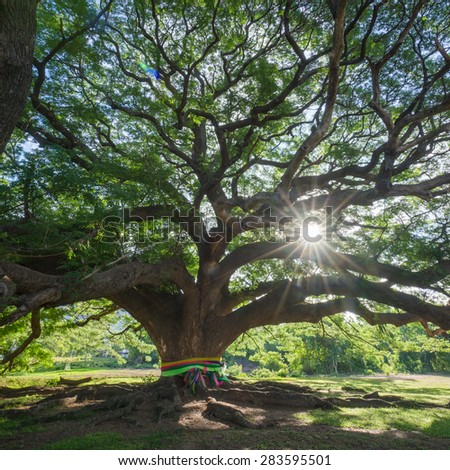 The Great Tree Spreading branches - stock photo