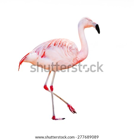 The greater flamingo (Phoenicopterus roseus) isolated on a white background. - stock photo