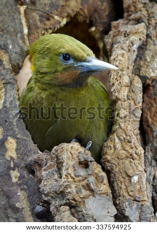 The greater yellownape (Chrysophlegma flavinucha)     - stock photo