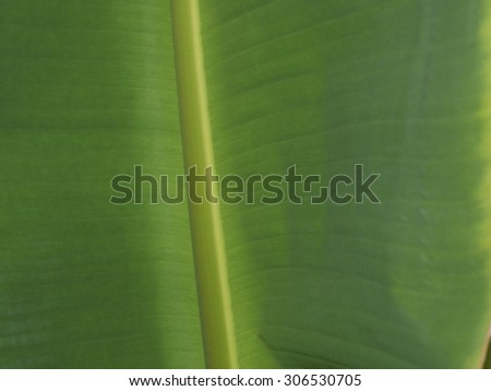 The Green Banana Leaf - stock photo