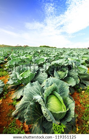 The green cabbage field and the blue sky. - stock photo