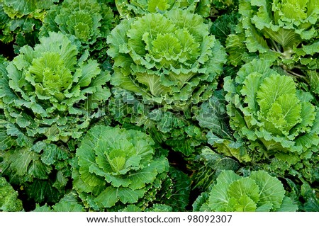 The Green cabbage on green house