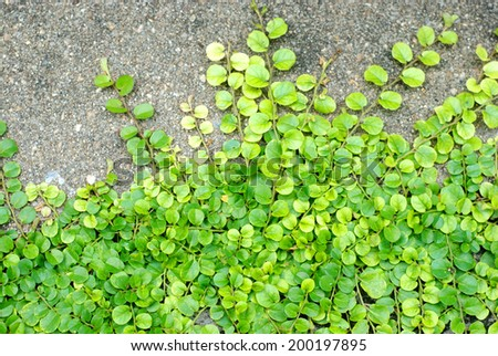 The green creeper plant on cement floor top view stock for Green floor plant