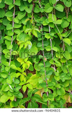 The Green Creeper Plant on the wall for background - stock photo