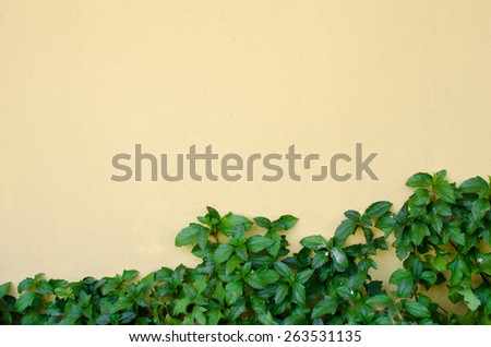 The Green Creeper Plant on the Yellow Wall - stock photo