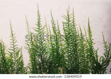 The Green Creeper Plant on wall horizontal - stock photo