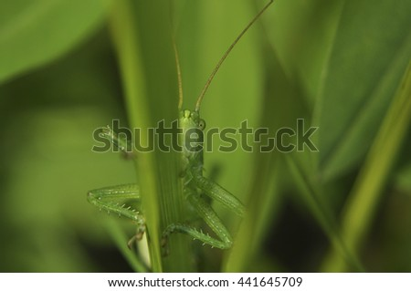 The green grasshopper close up looks in a chamber macro wild nature - stock photo