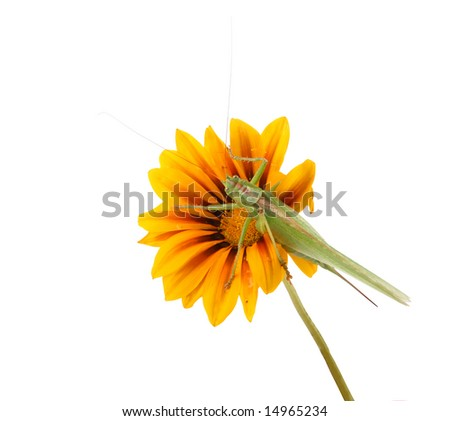 The green grasshopper on a flower, isolated - stock photo