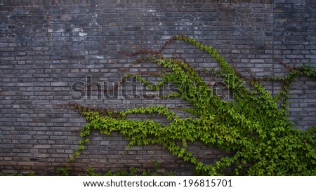 The green ivy on a stone wall, a beautiful background