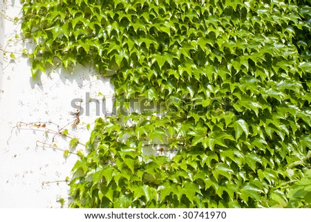 The green ivy on a white wall creates a beautiful background - stock photo