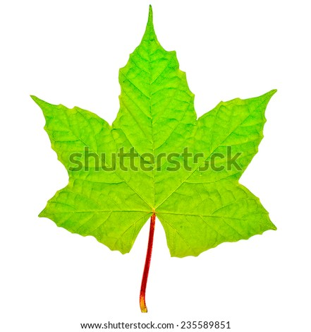 The Green leaf isolated on white background - stock photo