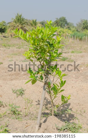 The green lime tree  in plantation with sunny day