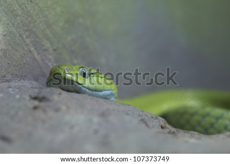The green snake is fierce. - stock photo