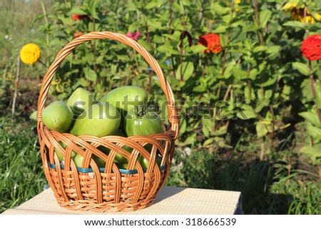 The green tomatoes lying in a wattled basket on a table in a garden