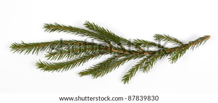 The green twig of the spruce - stock photo