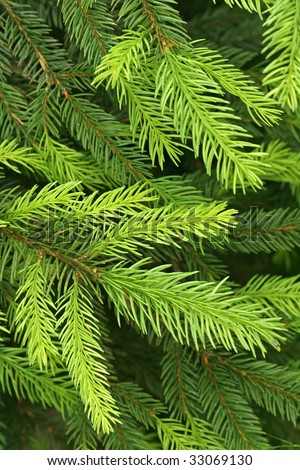 The green twigs of the spruce - stock photo