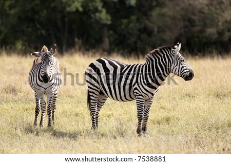 The Grevy s zebra (Equus grevyi), sometimes known as the imperial zebra, is the largest species of zebra. It is found in the masai mara reserve in kenya africa - stock photo
