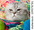 the grey adult cat with  many multi-coloured clew ,  artful  look , close up muzzle, humour photo - stock photo