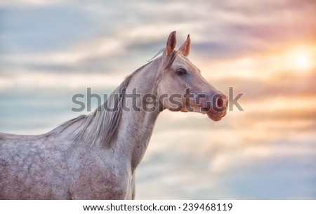 The Grey Arabian Horse portrait on blue sunny sky background - stock photo