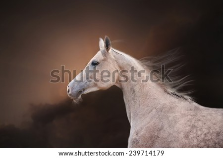 The Grey Arabian Horse portrait on dark brown sky background - stock photo