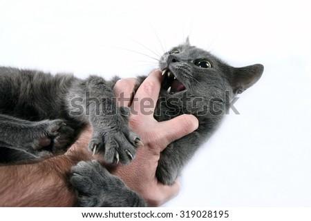 the grey cat aggressive bites the hand - stock photo