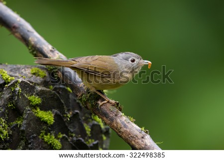 The grey-cheeked fulvetta (Alcippe morrisonia) is a species of bird in the Pellorneidae family.