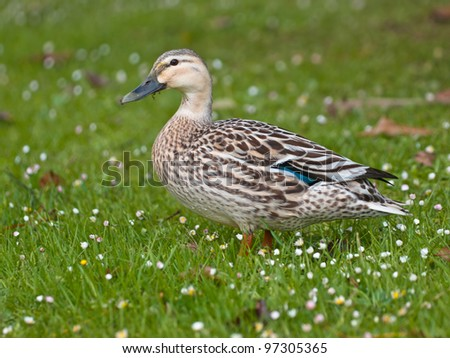 The grey duck is a native bird of New Zealand